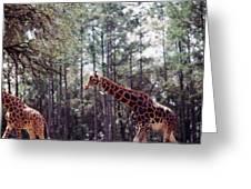 Giraffesgalore Greeting Card