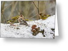 Give Me A Kiss. Redpolls And Greenfinches Greeting Card