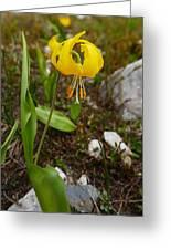Glacier Lily 1 Greeting Card