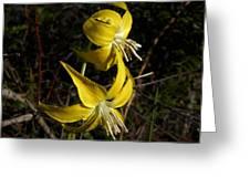 Glacier Lily 2 Greeting Card