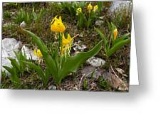 Glacier Lily 3 Greeting Card