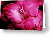 Gladiola Glow Greeting Card