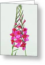 Gladioli Byzantinus In Love Greeting Card