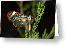 Glasswinged Butterfly Greeting Card