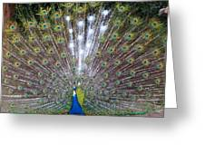Glassy Peacock  Greeting Card