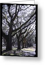 Glorious Live Oaks With Framing Greeting Card