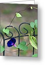 Glorious Morning Glory Greeting Card