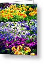 Glorious Pansies Greeting Card