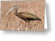 Glossy Ibis . 7d5045 Greeting Card