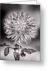 Glowing Dahlia Greeting Card