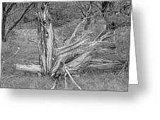 Gnarled Cedar Stump Greeting Card