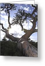 Gnarled Pine Tree And Sun Greeting Card