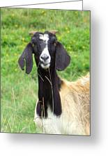 Goat Dental Floss Greeting Card