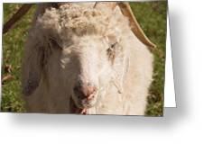 Goat Eating Greeting Card