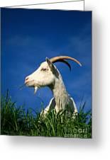 Goat Greeting Card