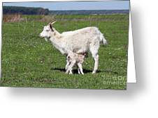 Goat With Just Born Little Goat Spring Scene Greeting Card