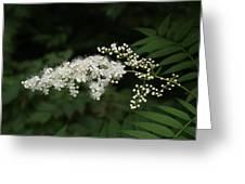 Goat's Beard Bush White Bloom Greeting Card