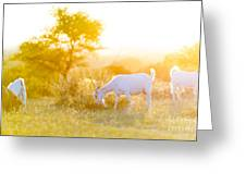 Goats Grazing At Sunset Greeting Card