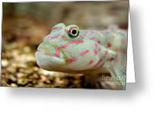 Pink Spotted Watchman Goby Greeting Card