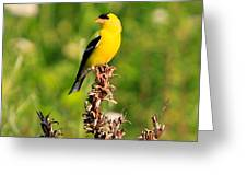Gold Finches-4 Greeting Card