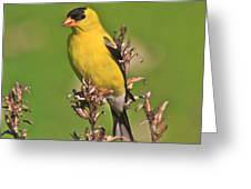 Gold Finches-6 Greeting Card