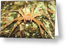 Gold Hunting Spider Greeting Card