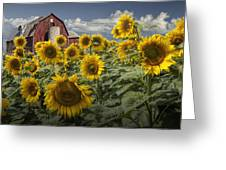 Golden Blooming Sunflowers With Red Barn Greeting Card