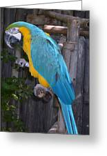 Golden Blue Macaw Greeting Card