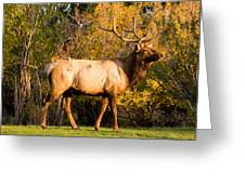 Golden Bull Elk Portrait Greeting Card