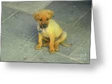 Golden Cunucu Puppy In Aruba Greeting Card