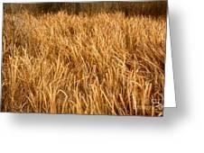 Golden Field Greeting Card