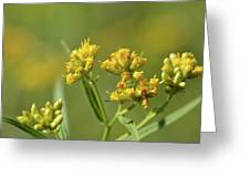 Golden Flattop Greeting Card