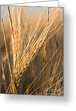 Golden Grain Greeting Card by Cindy Singleton