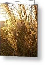 Golden Grass In Sunset Greeting Card