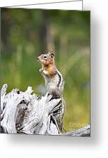 Golden Mantled Ground Squirrel Greeting Card