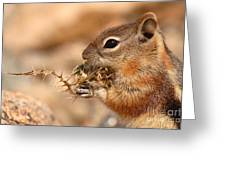 Golden-mantled Ground Squirrel Eating Prickly Spine Greeting Card