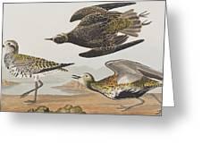 Golden Plover Greeting Card