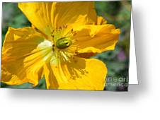 Golden Poppy Expose Greeting Card