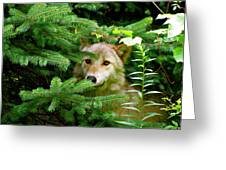 Golden Red Wolf Greeting Card by Debra     Vatalaro