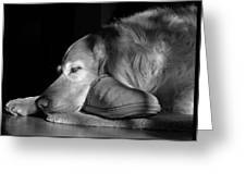Golden Retriever Dog With Master's Slipper Black And White Greeting Card