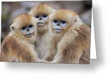 Golden Snub-nosed Monkey Rhinopithecus Greeting Card