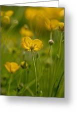 Golden Summer Buttercup 3 Greeting Card