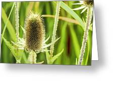 Golden Thistles Greeting Card