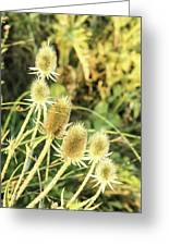 Golden Thistles Sextet Greeting Card