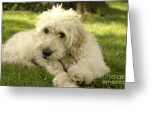 Goldendoodle Puppy And Stick Greeting Card by Anna Lisa Yoder