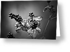Gone To Seed Blackberry Lily Greeting Card