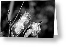 Gone To Seed Milkweed 2 Greeting Card
