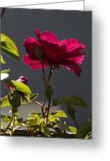 Good afternoon rose photograph by richard thomas good afternoon rose greeting card m4hsunfo