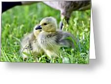 Goose Chick Greeting Card