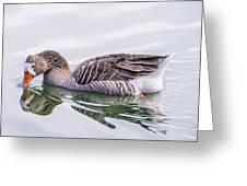 Goose Swimming Greeting Card